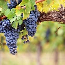 Grape Juicy - Tpa -