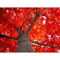 Red Oak 10Ml